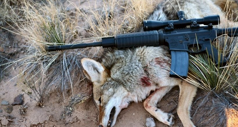 best scope for ar 15 coyote hunting