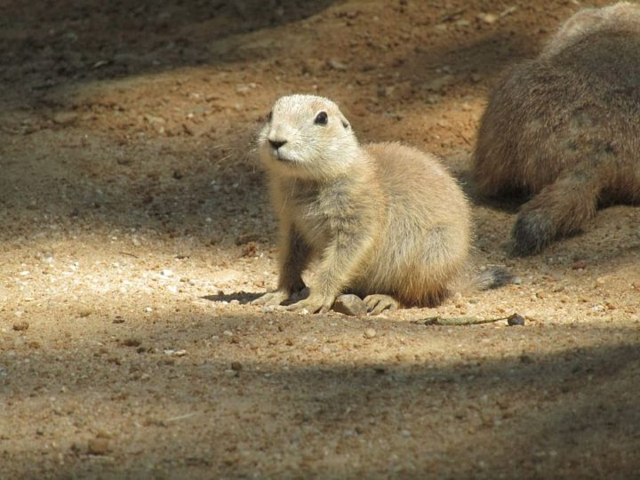 prairie dog young