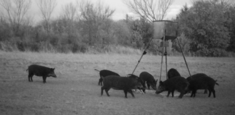 Montague County, TX Feral hogs on our family ranch