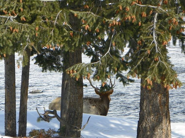 Yellowstone huge elk 1